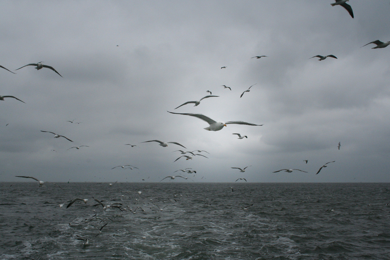 IMG_9783a - Meeuwen vliegen mee met onze garnalenboot naar Texel.