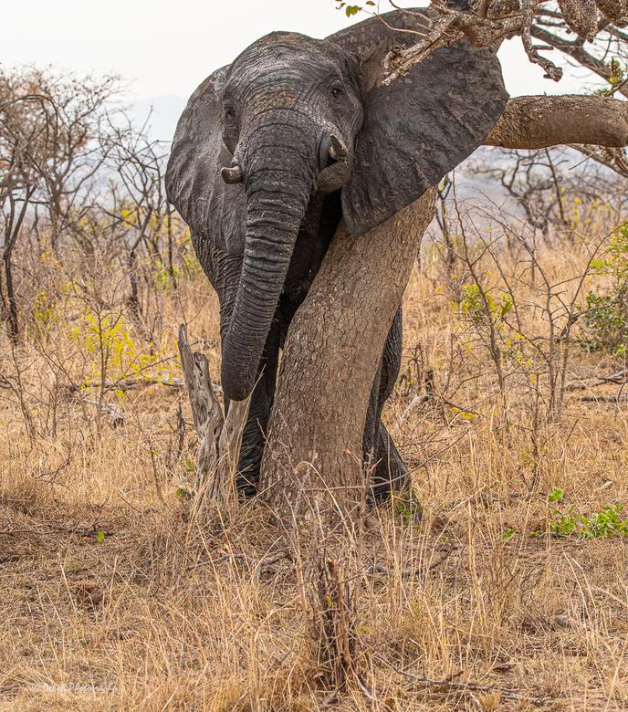 Zuid Afrika . - Elephants remain impressive animals. <br /> South Africa ..