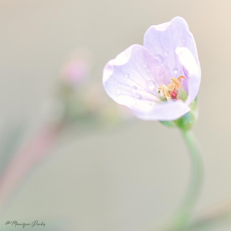 Klein en teer.... het bloemetje van een pinksterbloem in het zachte avondlicht. -