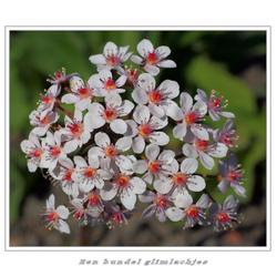 Damera peltata of  peltiphyllum peltatum