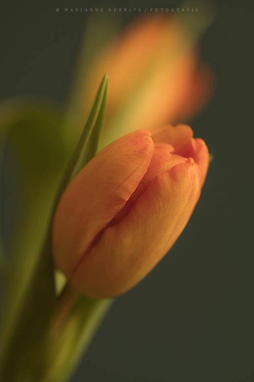Oranje Tulpen -