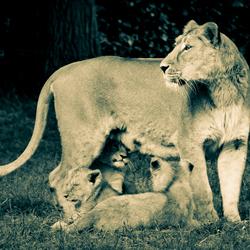 2016-05-16 Moeder leeuw waakt over kroost