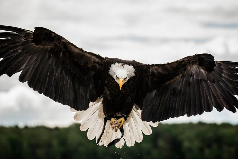 Bald eagle - Amerikaanse zeearend gefotografeerd op de Fotofair