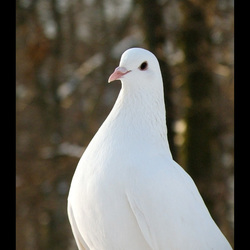witte duif