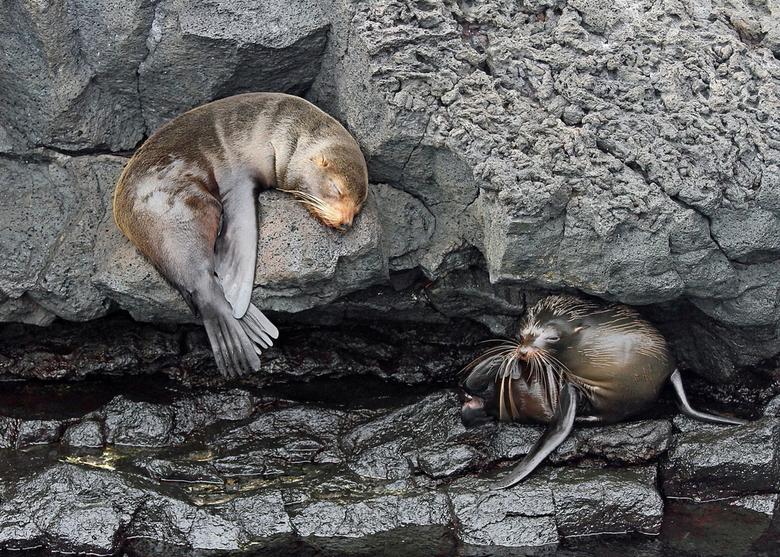 Twee zeehondjes op Santiago & North Seymour, Galapagos - Deze twee zeehondjes op Santiago & North Seymour, Galapagos waren zich niet bewust va