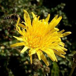 Zweefvliegje en een gele bloem...