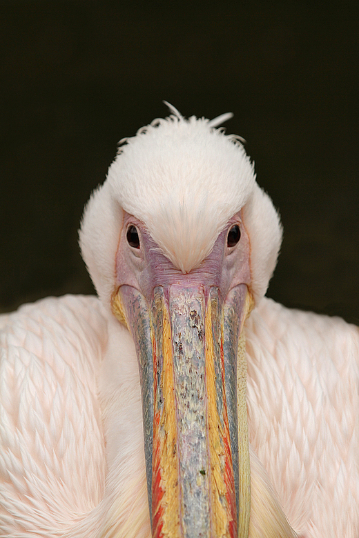 Colored beak.