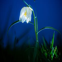 De Zwolse tulp