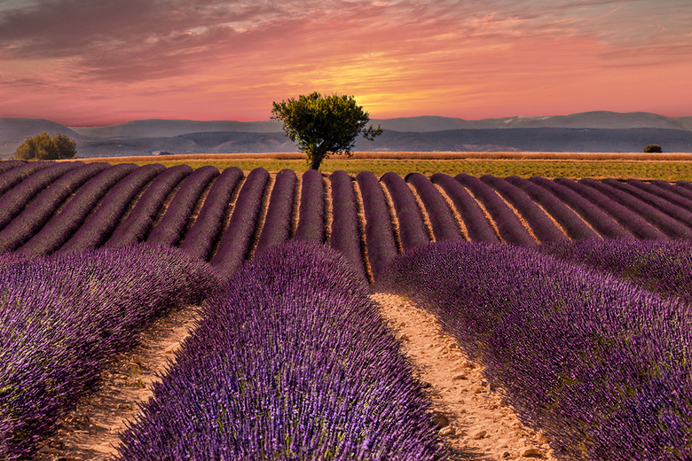 Lavendelveld Provence -