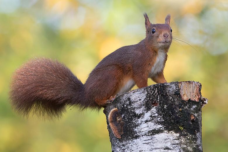 Eekhoorn in herfstsfeer - Deze Eekhoorn ging er even mooi voor zitten.<br /> <br /> Iedereen een fijn weekend gewenst en bedankt voor de mooie comme