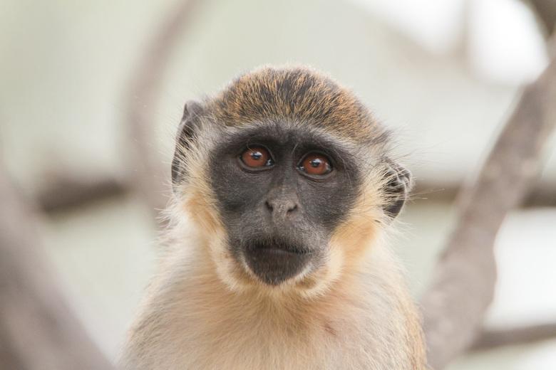 Fluwel aap  (2) - Tweede foto van de fluweel aap maar deze keer kijkt hij/zei recht in de lens