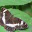 Ijsvogelvlinder