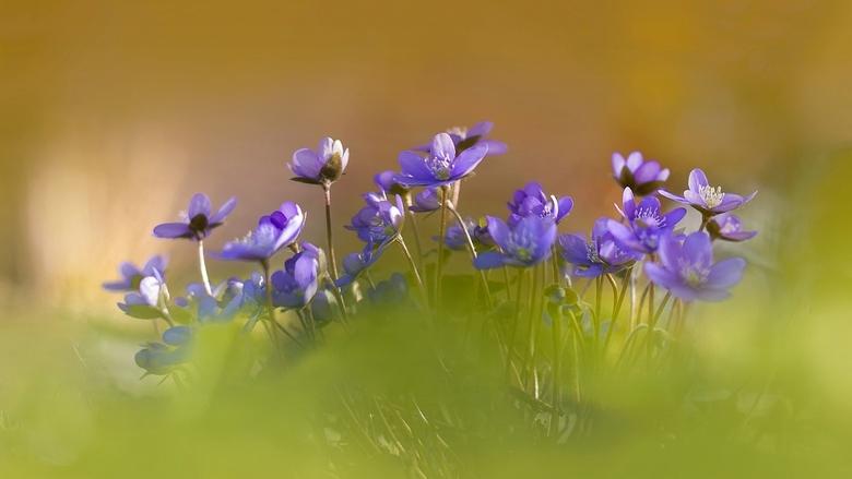 leverbloempjes - nog maar pas geleden gefotografeerd, de bloempjes stonden er prachtig bij in het zonlicht, hopelijk slaat het weer, weer snel om.<br