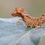 Bleke eenstaart - Falcaria lacertinaria