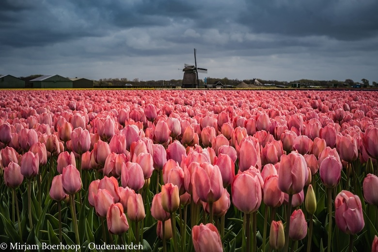 Tulips and the mill