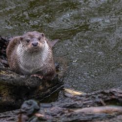 Otter in de regen