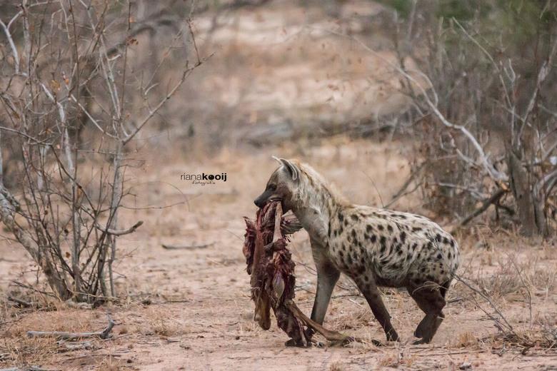 Hyena met prooi - Eerlijk gejat heeft deze Hyena zijn prooi, want vangen doen ze zelf niet.