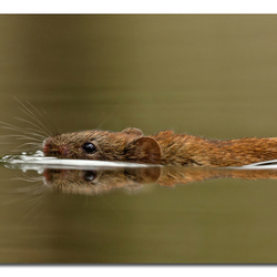 Swimming mouse!!