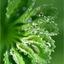 Water- dauwdruppels op een vrouwenmantel blad