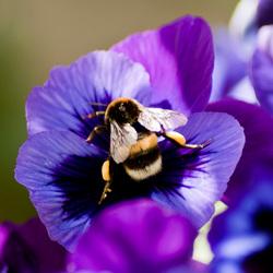 Hommel op paarse viool