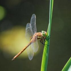 Dubbeldeks-libelle