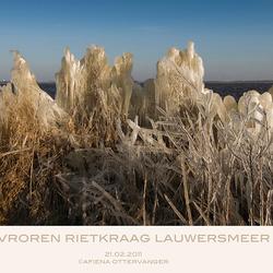 bevroren Rietkraag Lauwersmeer