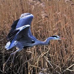 Blauwe reiger (2)