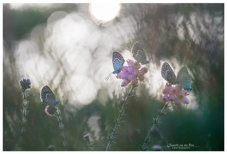 in the spotlight - Gisteren op zoek naar heideblauwtjes, en gevonden! Deze foto door de heide heen genomen tegen de zon in.
