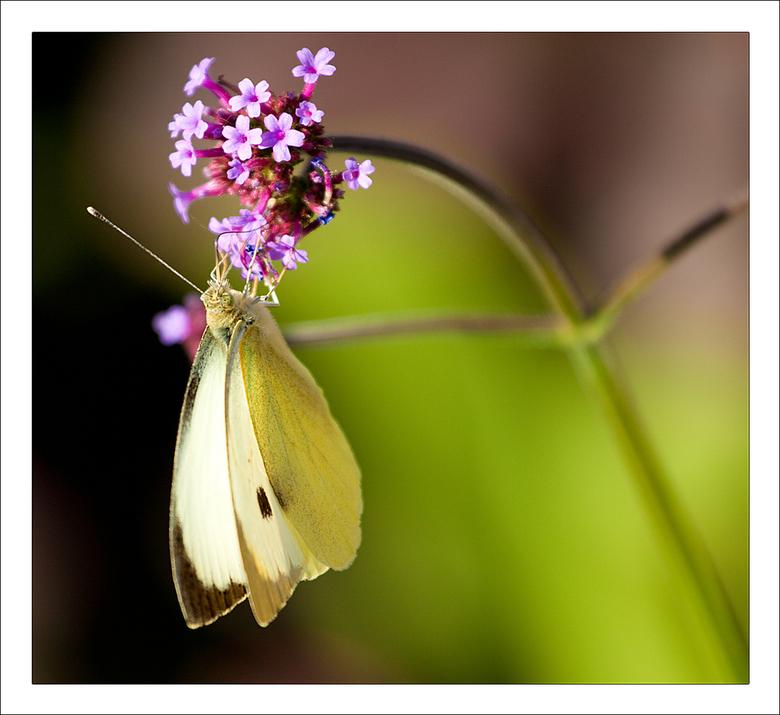 Hangin' On... - Deze vlinder was lekker aan het heen en weer vliegen en zijn buikje aan het rond eten.<br /> De foto is afgelopen weekend genomen en