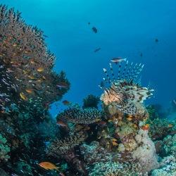 rif met lionfish