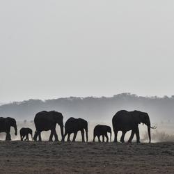 Olifanten in Amboseli NP