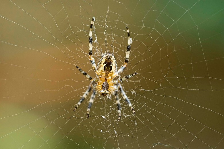 Spin in web -