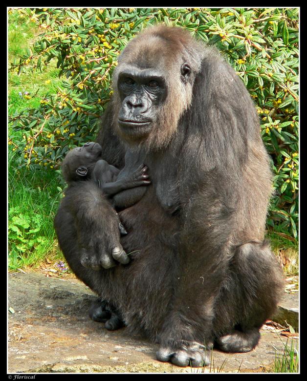 Jong geluk - Het jonge geluk aan moeders borst. Wat voor toekomst staat hem en andere laagland gorilla's te wachten. Laten wij hen helpen, kan al
