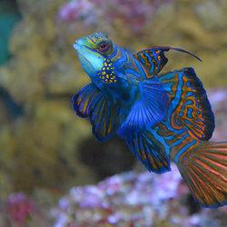 Kleurrijke Koraalvis.