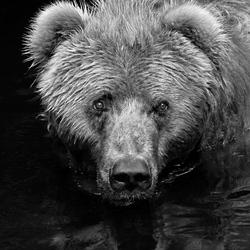 Curious Bear Black & White