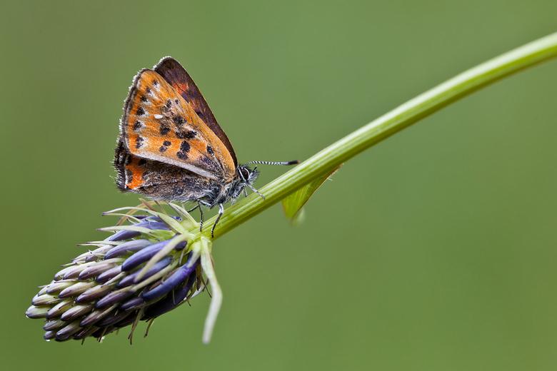 Blauwevuurvlinder - Laatste foto van vorige week van de drie vuurvlinders.Dank voor jullie reacties op de vorige upload!<br /> Fijne dag verder.<br /