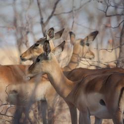 Beautiful Impala's