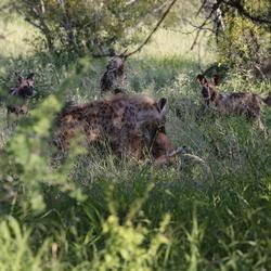 Hyena pakt prooi van wilde honden af