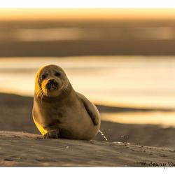 zeehonden baby moet plassen