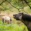 Konikpaard Ennemaborg mei 2015