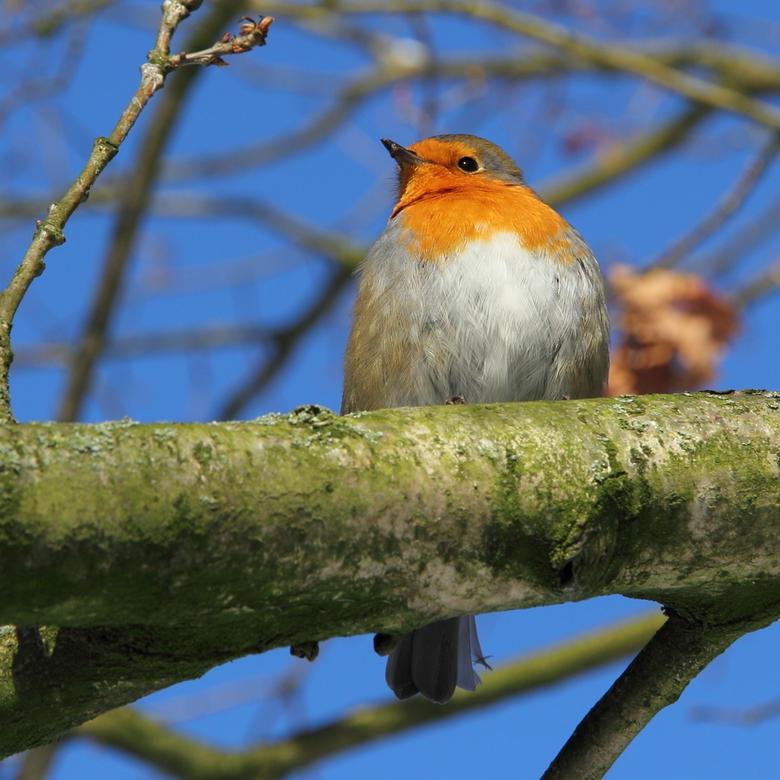 Robin in the sun - Weer een weekje terug van wintersport, had wel genoeg van de sneeuw maar gisteren toch maar een ommetje gemaakt. <br /> Daarbij kw