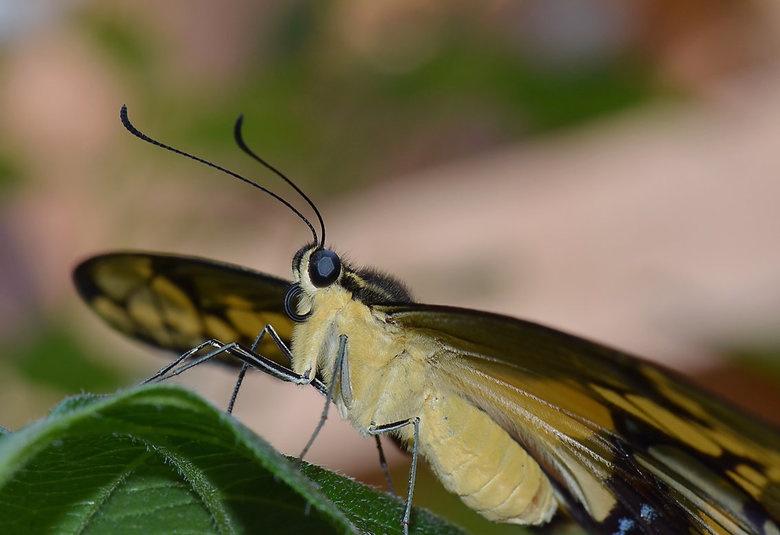 Butterfly close.