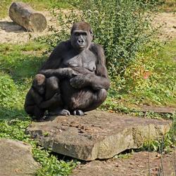 Gorilla met jong