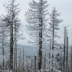 ijzige bomen