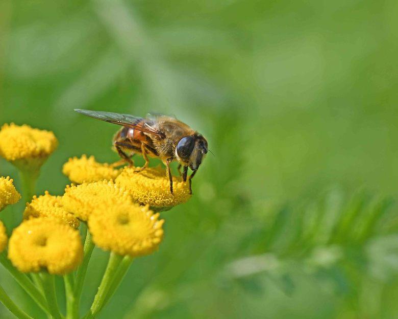 """je anders voordoen - Veel zweefvliegen lijken op bijen, hommels of wespen. Door er """"gevaarlijk"""" uit te zien, is de kans dat zij ten prooi va"""