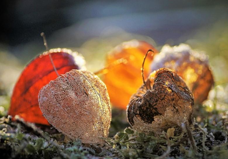 herfst met een vleugje winter - ik probeer ze ieder jaar wel te vinden  en in de volktuintje lukt dat meestal wel .<br /> zijn leuke dingetjes om te
