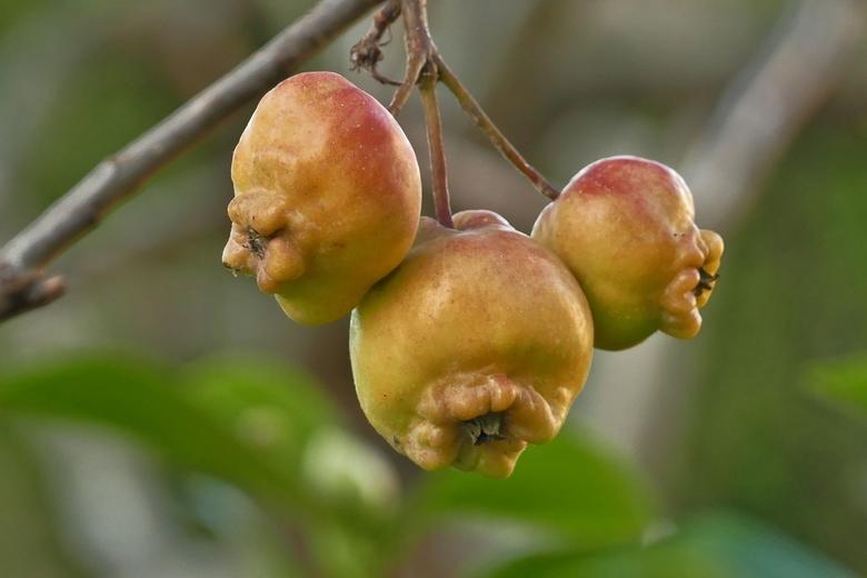 Appels voor de vogels - Deze appels zijn een maand geleden niet van de boom gehaald omdat die te klein waren. Maar dat er uiteindelijk deze rare vorm