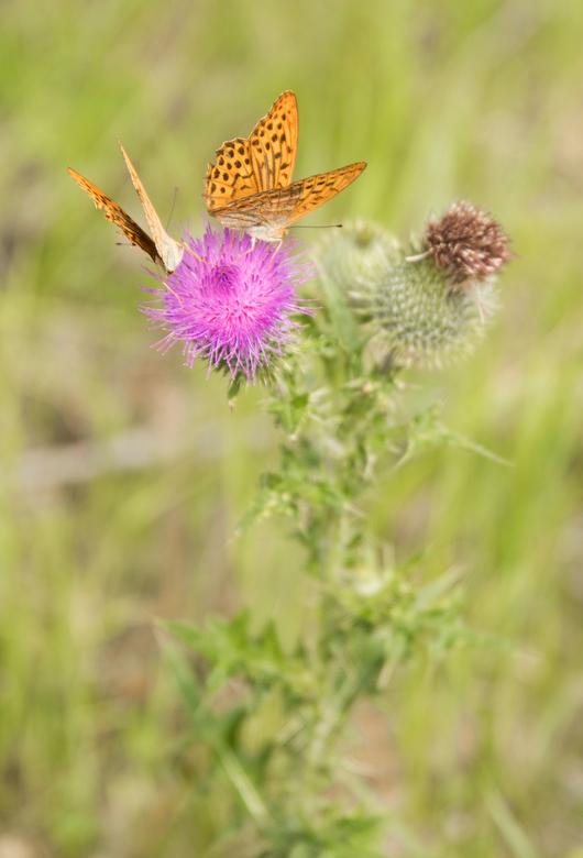 Twins - Deze twee vlinders hadden het voorzien op dezelfde bloem. Na wat gefladder zijn ze er toch maar samen op gaan zitten.