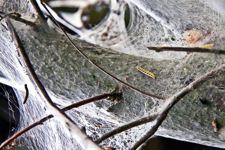 spookboom - Dit rupsje maakt rond veel bomen momenteel een spookachtige web. De complete boom wordt ingekapseld en gaat dood.<br /> Dramatisch en een