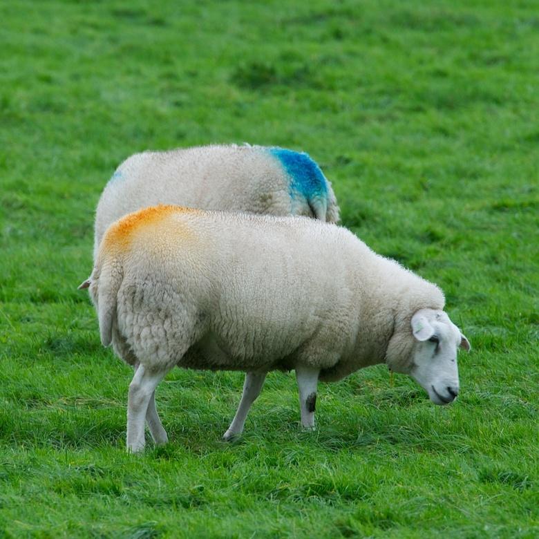 """Die staan er gekleurd op! - Gestempeld zijn ze, deze twee schapen. T'is toch wat... dat iedereen het kan en mag zien dat je """"het"""" gedaa"""